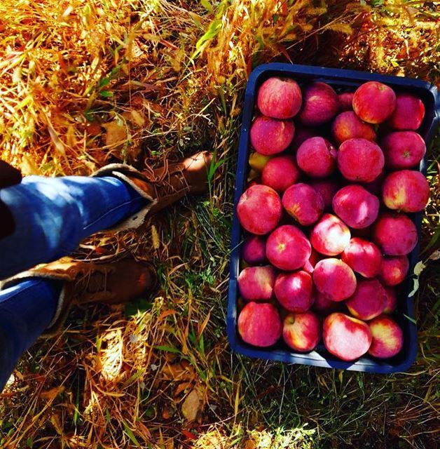 Ainata Apple Harvest... (`Aynata, Béqaa, Lebanon)