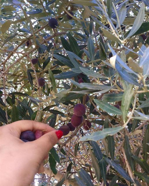 موسم_الزيتون olivegarden olivetree lovethislife lovethisseason ... (Ghaziyé, Al Janub, Lebanon)