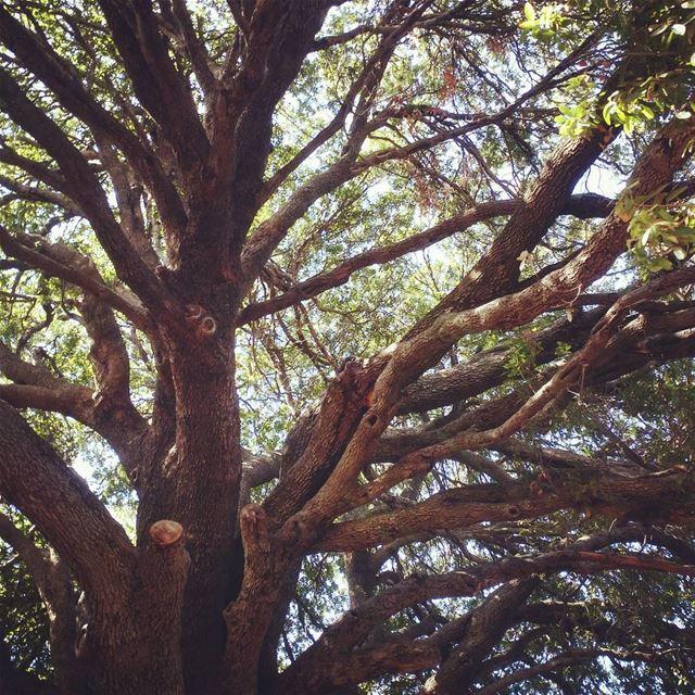 Intertwined 🌳 lebanon naturephotography nature tree treetrunk ...