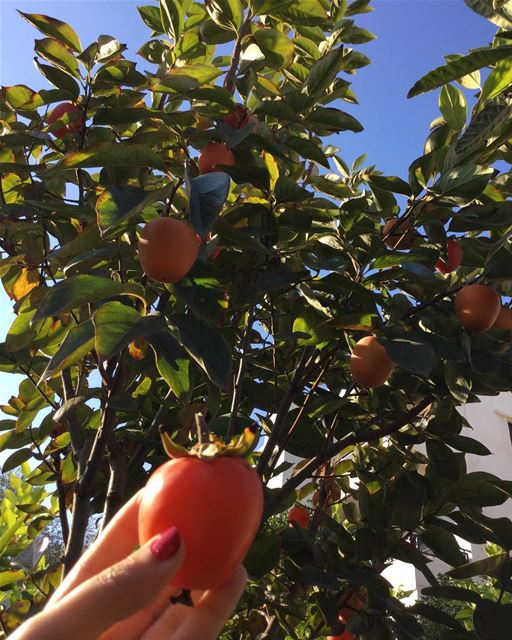 fresh fruit خرمة delicious myplant yummy lebanon southlebanon ... (Ghaziyé, Al Janub, Lebanon)