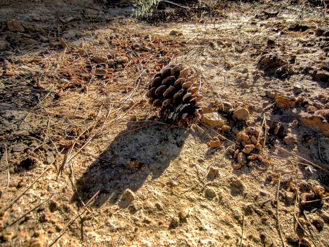 Mature pine cones have started falling off the branches following the...