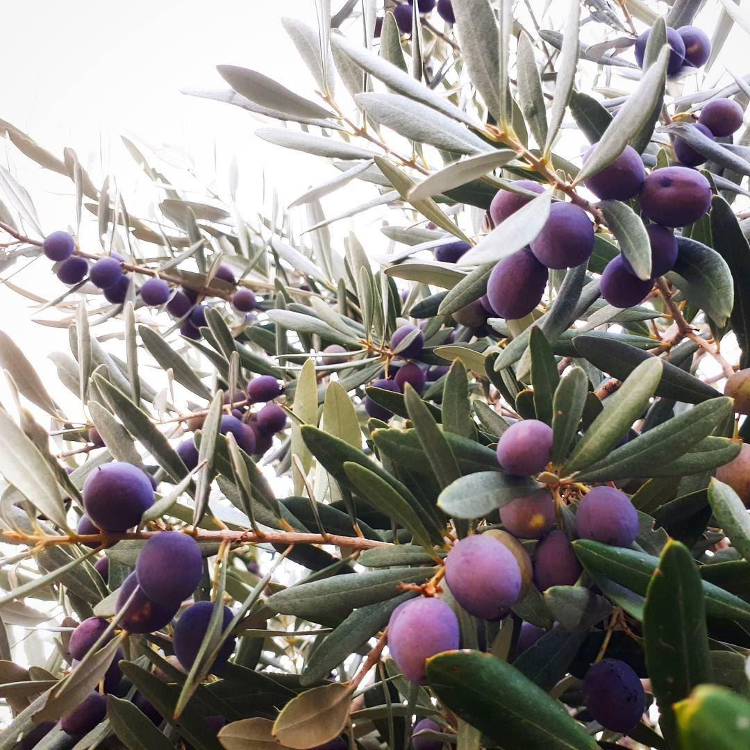 olive tree garden 🌿 olivetree nature perfect mountains style ... (Zeaitre-Villa Mountain)