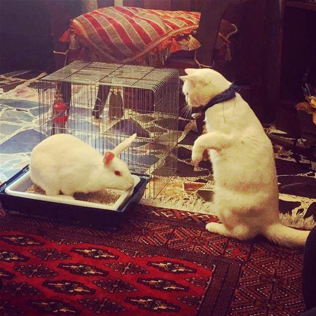 When Bella meets chanyeol 😮 lebanon batroun homesweethome bella cat ... (Batroûn)