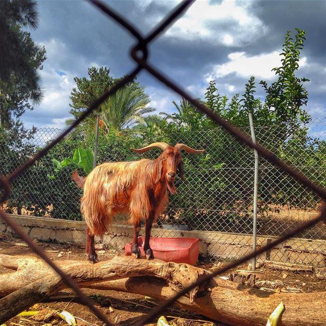 Ηεγ! ωαζζζ υρ? Have a nice day☺️ goat nature lebanon instagood ...