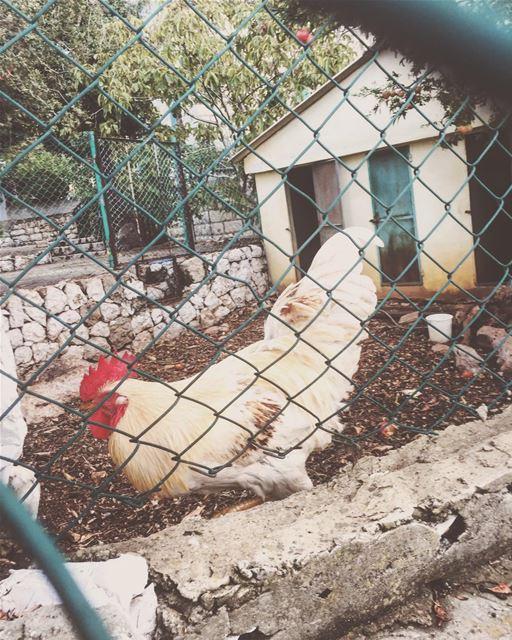 Good morning, humans. lebanon rooster animal ...