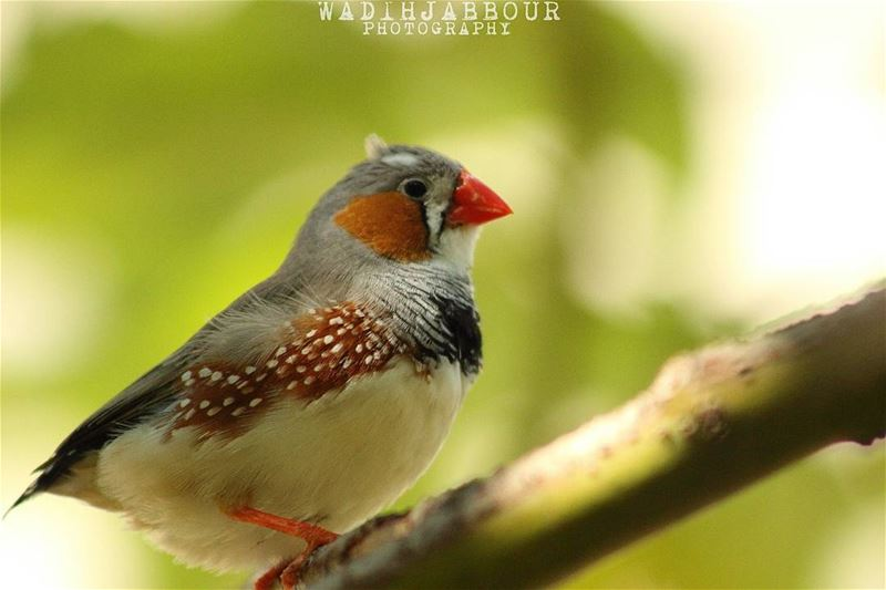 🔸 zebra finch🔸(Taeniopygia guttata [formerly Poephila guttata]), is the...