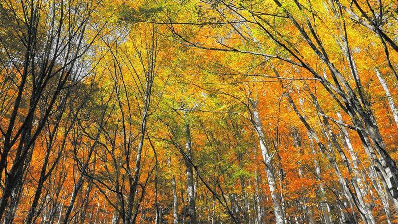 I See trees of Yellow .. 🍂🍁 Autumn🍁 in... (Deïr Taanâyel, Béqaa, Lebanon)