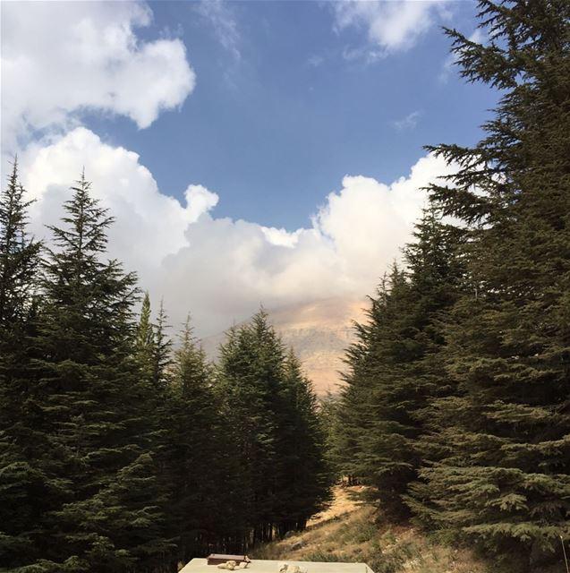 Famous Lebanese cedars!... bcharreh cedar cedartree cedarsoflebanon... (El Arz)