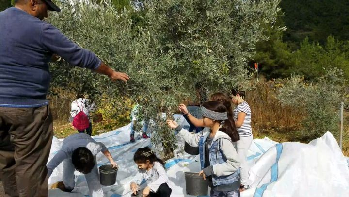 It's Olive Picking season in Bkerzay until November 12th! Schedule your... (Bkerzay)
