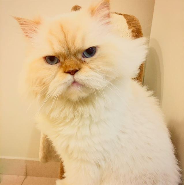 You're Gonna Hear Me Roar 🐯. cat cats catsofinstagram pet pets ... (Dubai, United Arab Emirates)