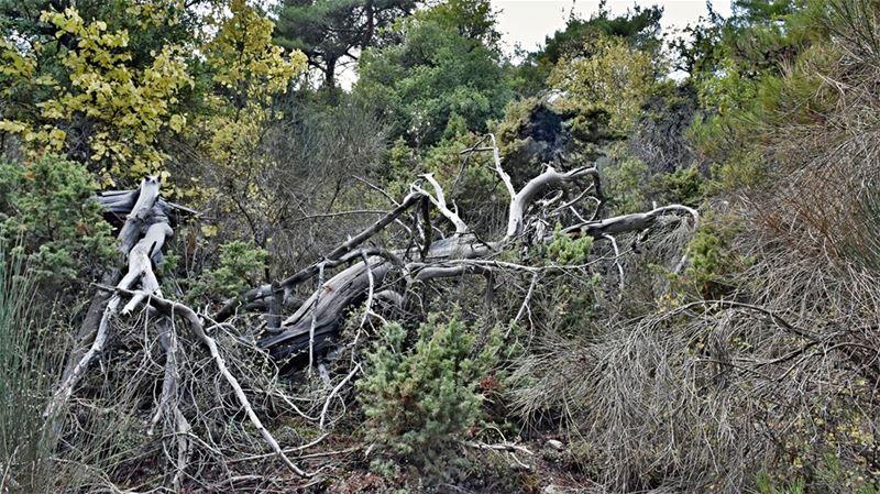 The Petrifying Forest: Degeneration and Regeneration trek forest ... (Ehden, Lebanon)