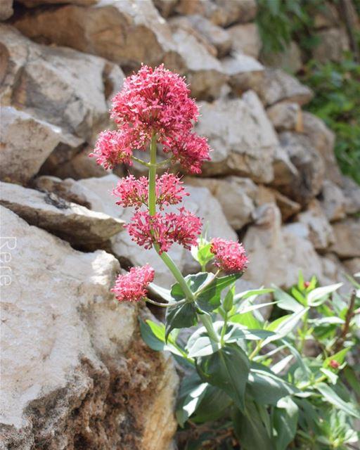She was blooming between hard rocks🌷 whatsupplebanon liveloveserjbel ... (Tannurin At Tahta, Liban-Nord, Lebanon)