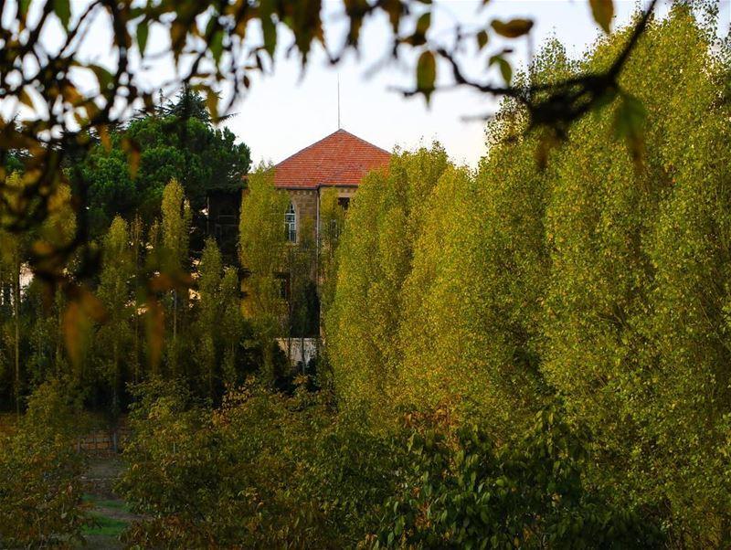 fall autumn yellowtree 🍂🍁... photography photographer photooftheday... (Sawfar, Mont-Liban, Lebanon)