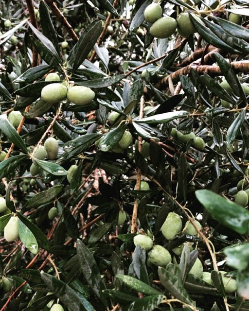 It's olive season! 💚🍃💚 (Deir El Kamer, Mont-Liban, Lebanon)