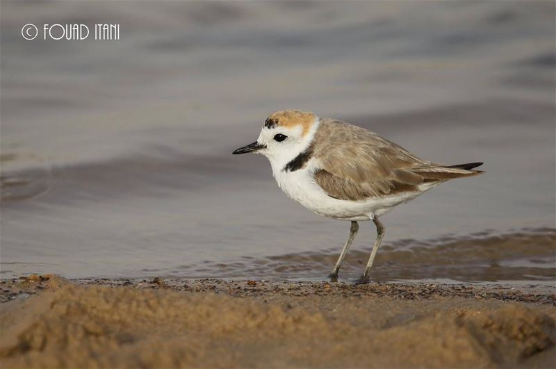 Kentish plover angrybirds birdsofinstagram creation livelovelebanon❤ ط
