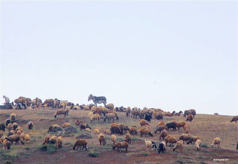 tb sannine northlebanon sheeps lebanon colorful livelovelebanon ... (Sannin, Mont-Liban, Lebanon)