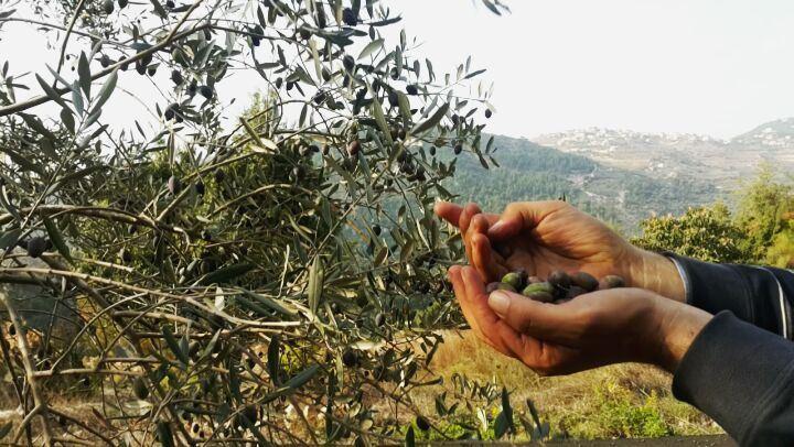 Olive Picking in action 🍈🍃 jGrove Olive OliveHarvest OlivePicking ...