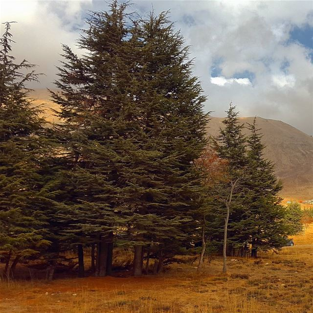 When a tree becomes a concept. Lebanon cedar sky clouds liban nature... (The Cedars of Lebanon)