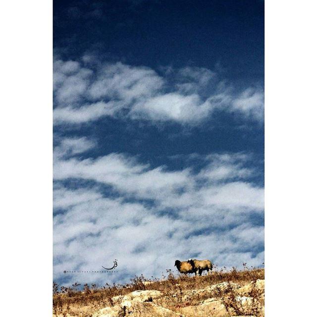 NourAltakiPhotography naturelover nature sheep sky bluesky clouds ...