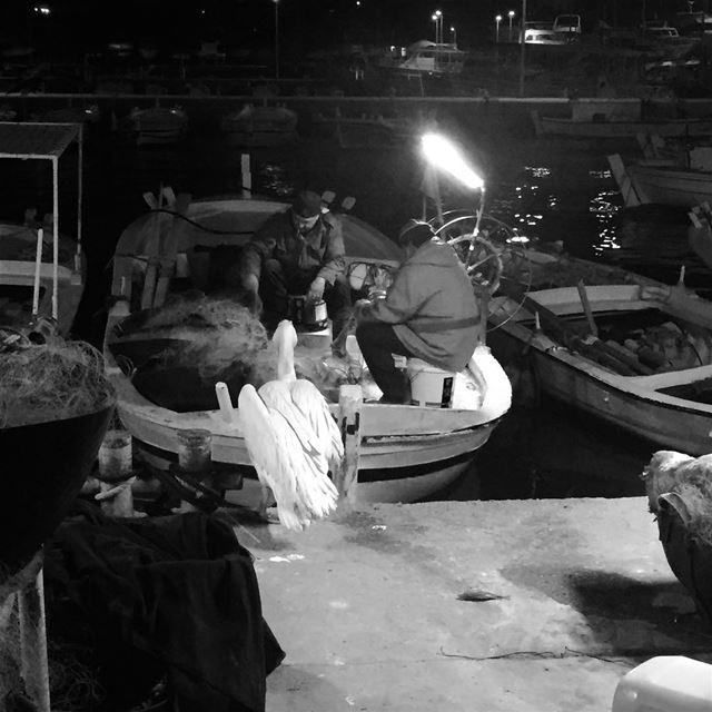 The chilled pelican waiting for the fishermen! nightphotography ... (Batroûn)
