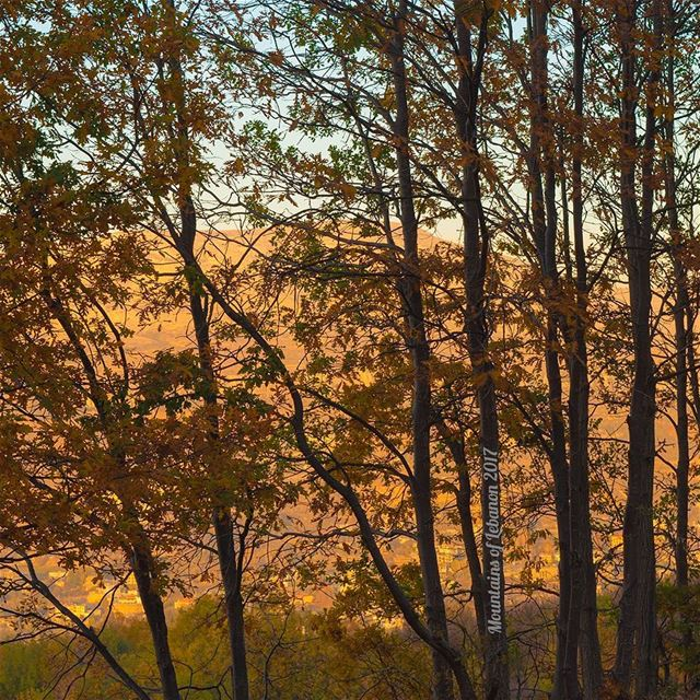 During golden hour, the Faraya/Mayrouba mountains are glowing gold... in... (Kfardebian,Mount Lebanon,Lebanon)
