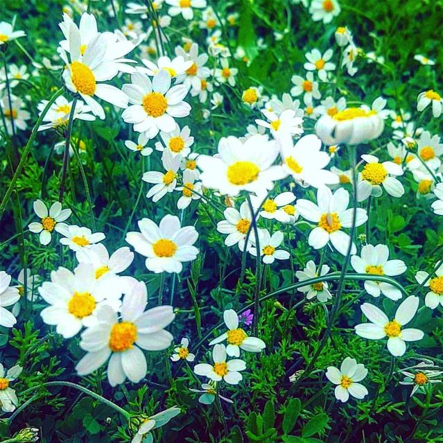 A daisy conveys innocence, loyal love and purity 🌼🍃.Huawei P10 📷.... (Habil, Mont-Liban, Lebanon)