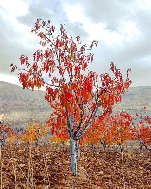 Seasonal tree 🍁🍂.... lebstalkers tree seasons nature lebanon ... (North Governorate)