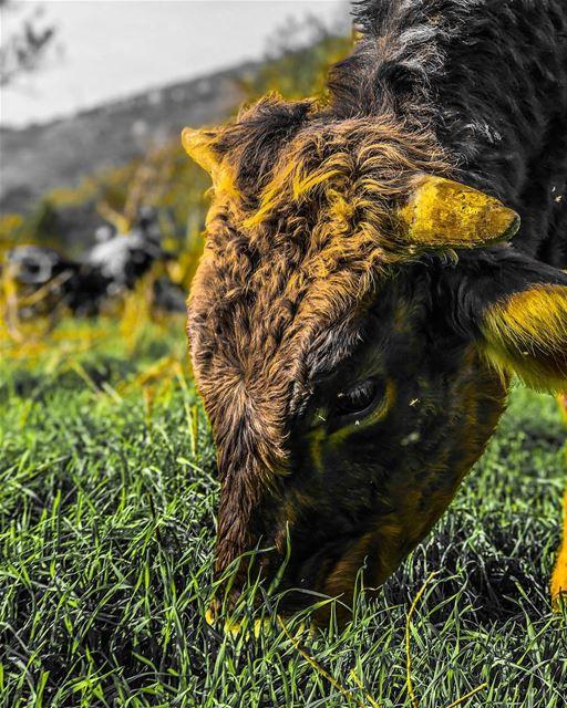Cow portrait...... cow portrait grass feedme animals nature ... (Marj Bisri)