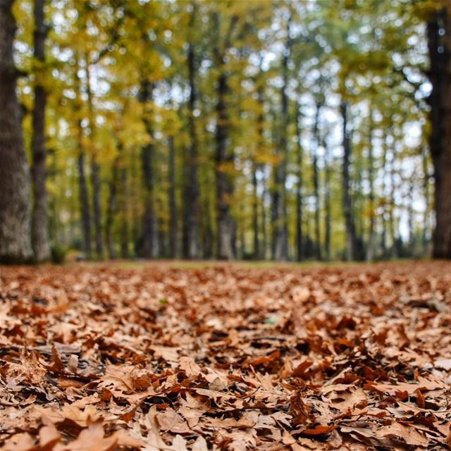 🍂🍁🐿•••••••••• autumn leaves winter forest nature Lebanon ... (`Akkar, Liban-Nord, Lebanon)