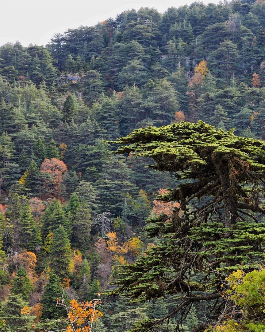The Lebanese Cedar standing tall and proud this Independence Day 22.11.17 | (Mahmiyet Ehden)