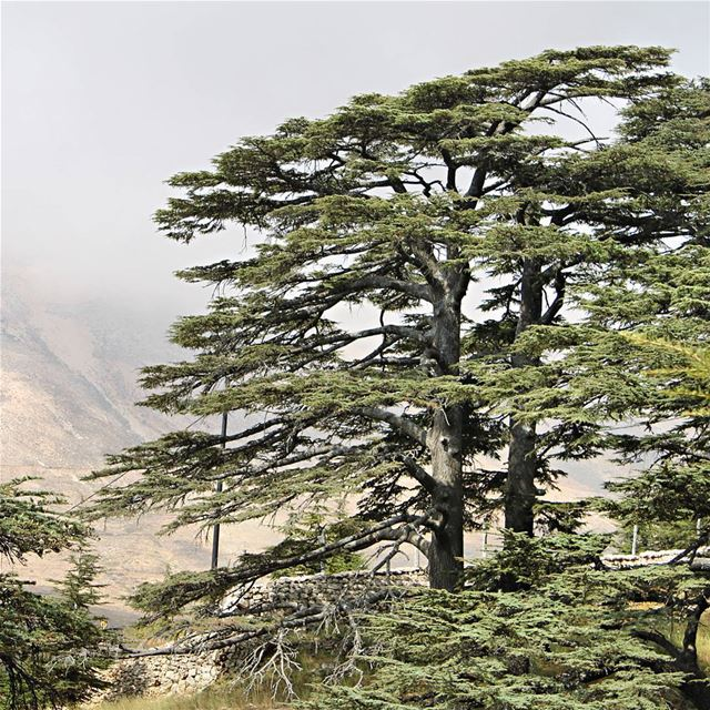 The cedar of Lebanon is mentioned seventy-seven times in the Bible,... (Mount Lebanon Governorate)