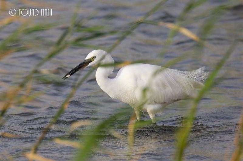 Little egret angrybirds birdsofinstagram creation livelovelebanon❤ طيو