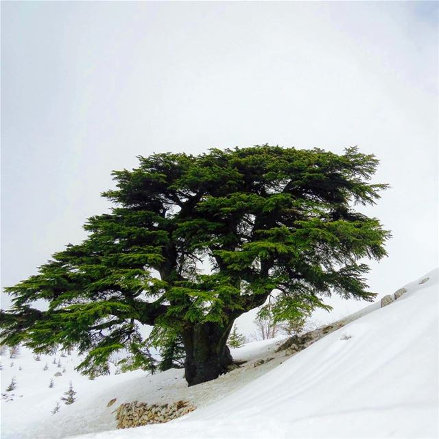 Happy independence day Lebanon 🇱🇧 Cidrus libani 2500 years old tree 🌲 ... (Mount Lebanon)