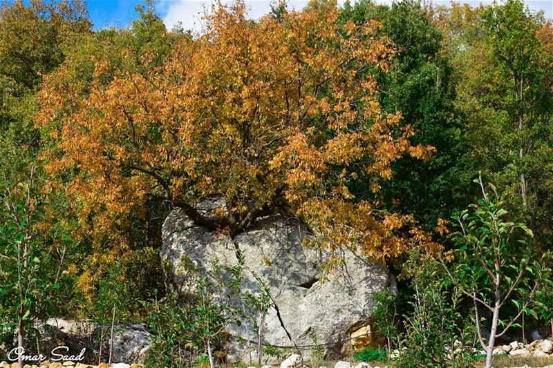 The will of life tree grows inside a rock autumn photography photo... (Sannin, Mont-Liban, Lebanon)