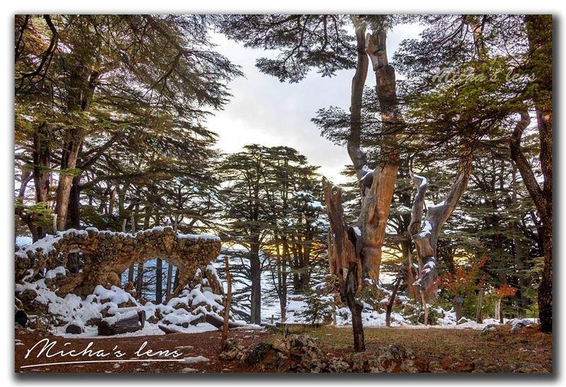 grow like a cedar in Lebanon...These noble trees grow among the snow. ...