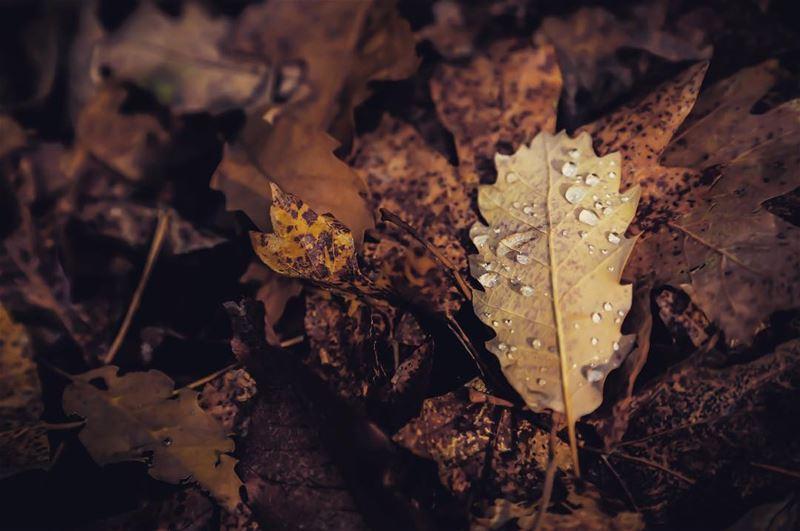 Falling leaves hide the path so quitely . lebanon lebanese forest ... (Jabal Moûssi)