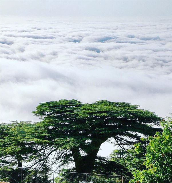 chouf cedars trees rare instagood nature_perfection nature_perfection ...