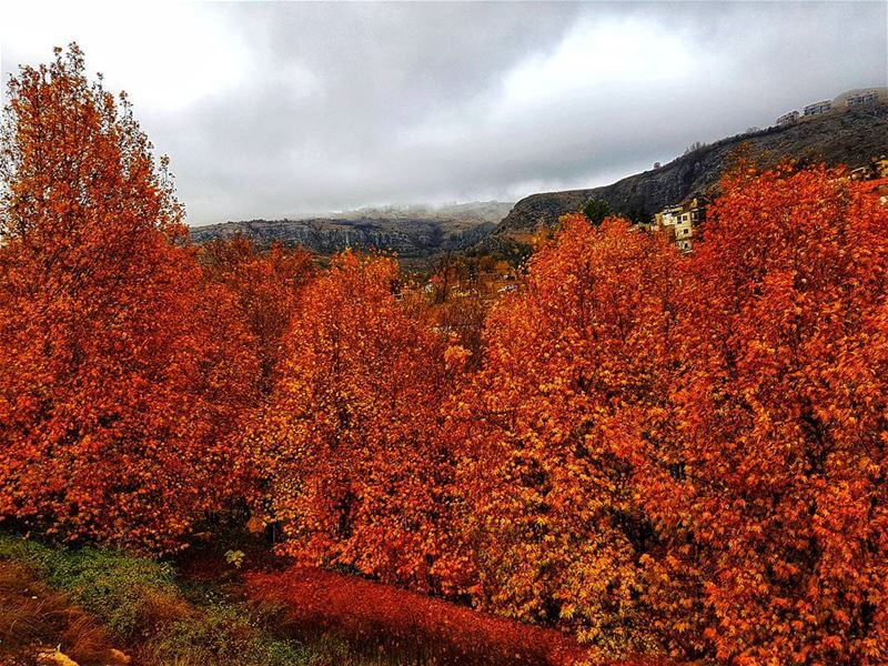 Absolute fall at the end of November fall autumn colors ... (Faraya, Mont-Liban, Lebanon)
