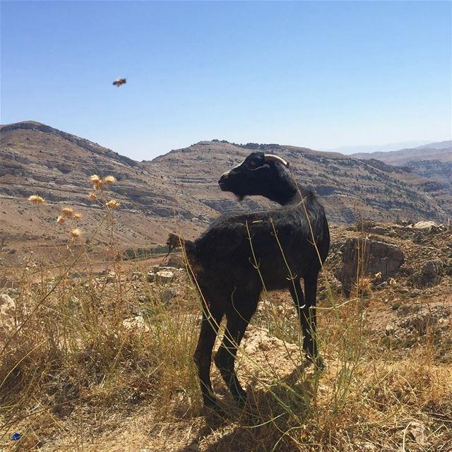 Interspecies encounters - a bee and a goat. livelovelebanon ... (Akoura, Mont-Liban, Lebanon)