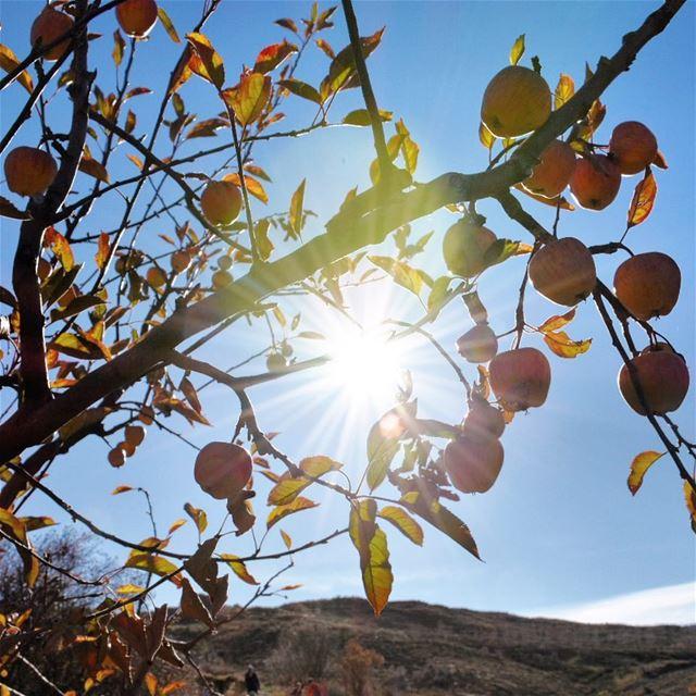 Finding the sunshine ☀️🍎••••••••••••••••••••••••••• sun sunrise apple... (Hadath Al Jubbah, Liban-Nord, Lebanon)