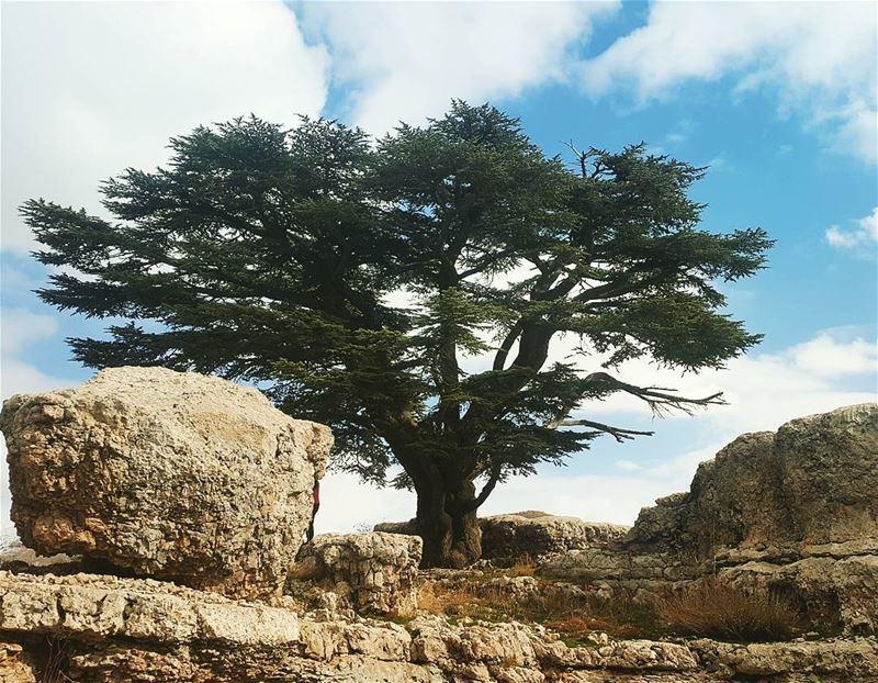 """Grow like a cedar in Lebanon"" cedar tannourine hikingadventure hikingday... (Arz Tannoûrîne)"