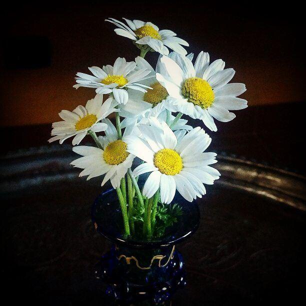 Dec 7 spring in my garden. smile spring daisies winterwonderland ... (Mount Lebanon Governorate)