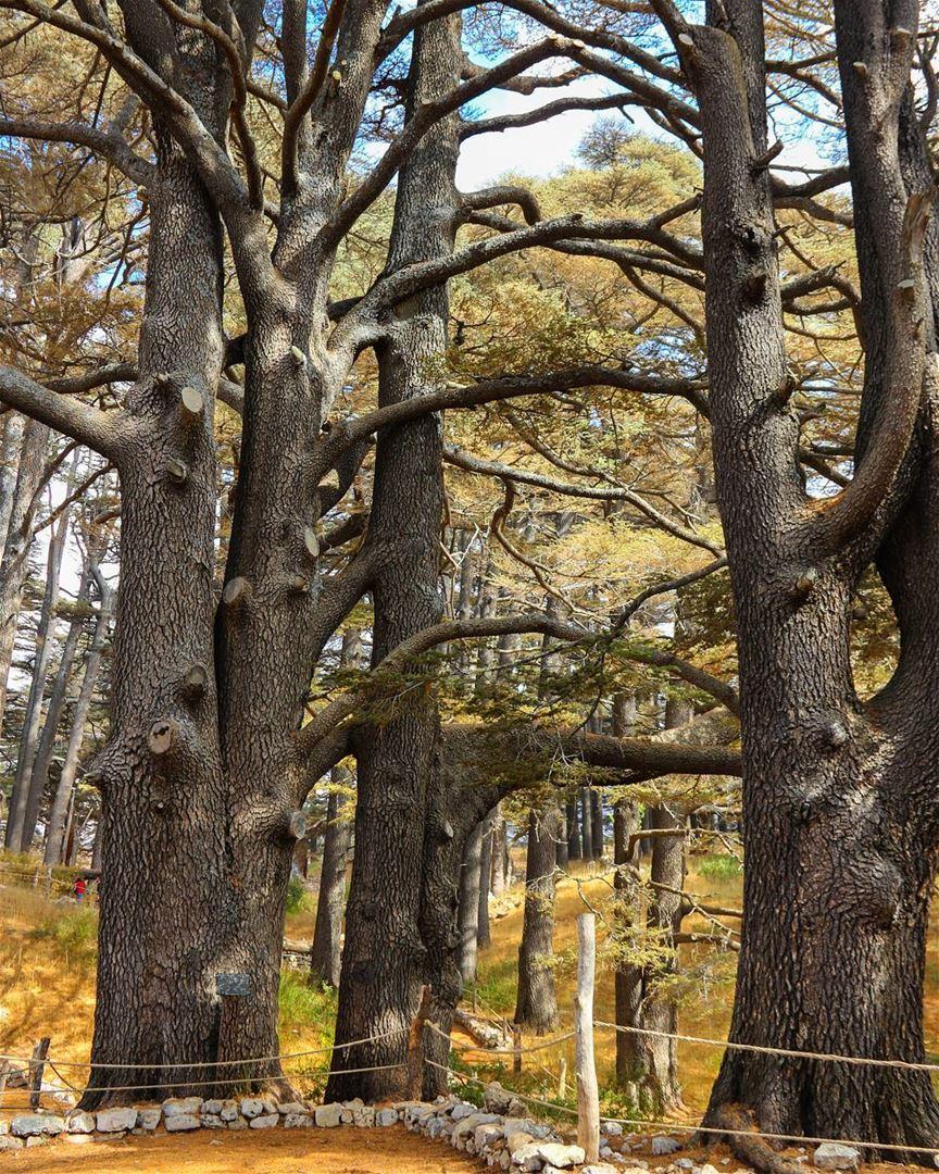 🌲جبين الأرزة ما بينطال🌲..... tree_captures nature_worldwide_trees... (Cedars of God)