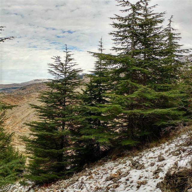 Short hike amongst young (100 year olds) cedars. cedarforests cedartrees... (Al Shouf Cedar Nature Reserve)