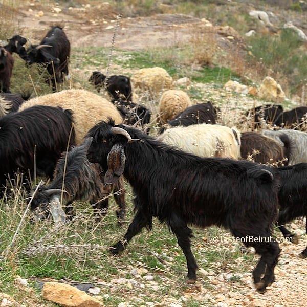 They just melt my ❤. goats herding shepherd lebanesescenery ... (Bâroûk, Mont-Liban, Lebanon)