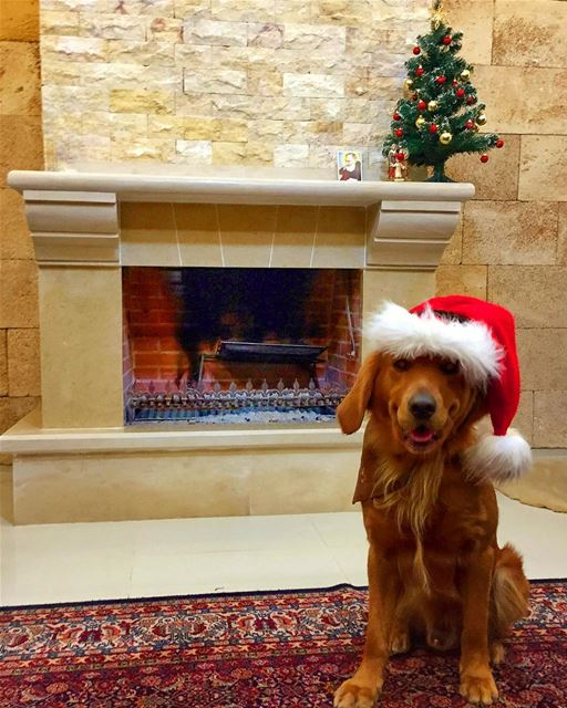It's beginning to look like christmas ...🎄🎅❤️🦁 livelovepets ... (Mount Lebanon Governorate)