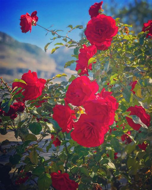 A Rose 🌹 speaks of Love ❤️ silently in a language known only to the heart... (Mount Lebanon Governorate)