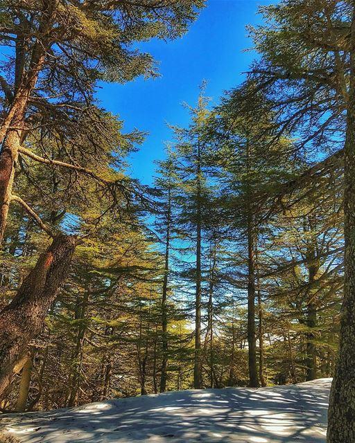 We should grow strong like the cedars of lebanon .... insta_lebanon ... (Al Shouf Cedar Nature Reserve)