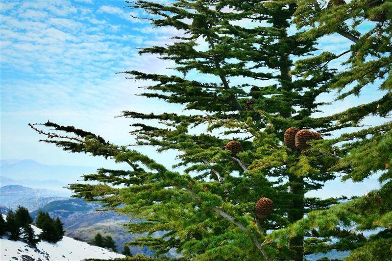 يا أرزة نبتت جذوراًغصناً أبياً في السماءويلوح في الأفق الضياءوالشمس تشرق (لبنان)