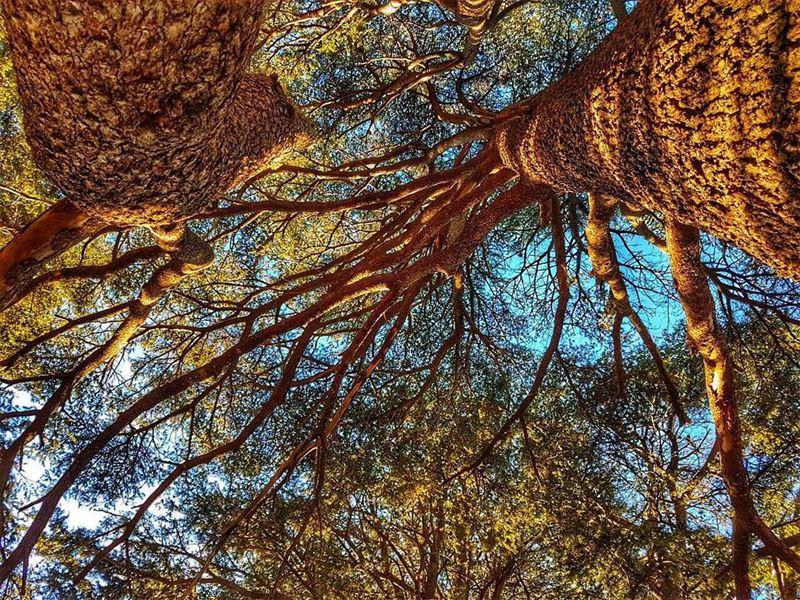 ✊🌲💪May the blood of the Cedar run through your veins💪🌲✊ arzjaj jaj... (Arez Jaj)